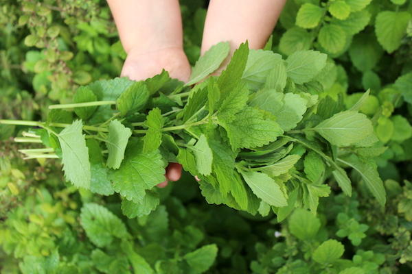 A bundle of lemon balm ready for use in recipes