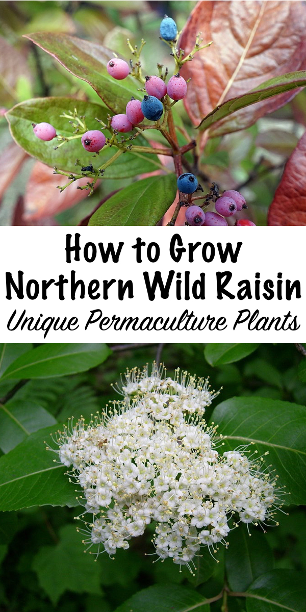 How to Grow Northern Wild Raisin ~ This unique permaculture plant is low maintenance and produce edible berries, as well as abundant bee forage. #wildraisin  #permaculture #edible #berries #foraging