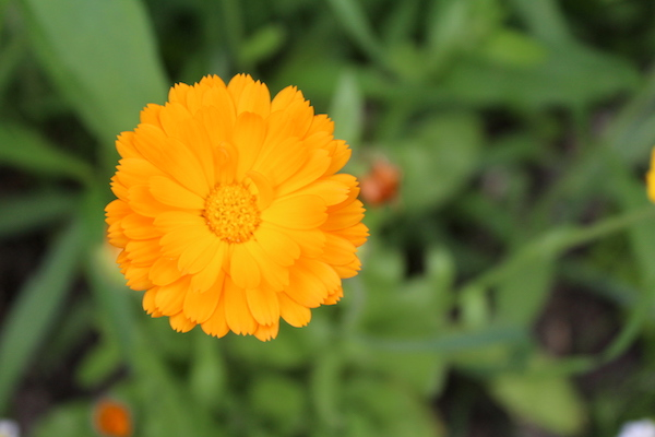 A calendula flower in my garden from last summer.