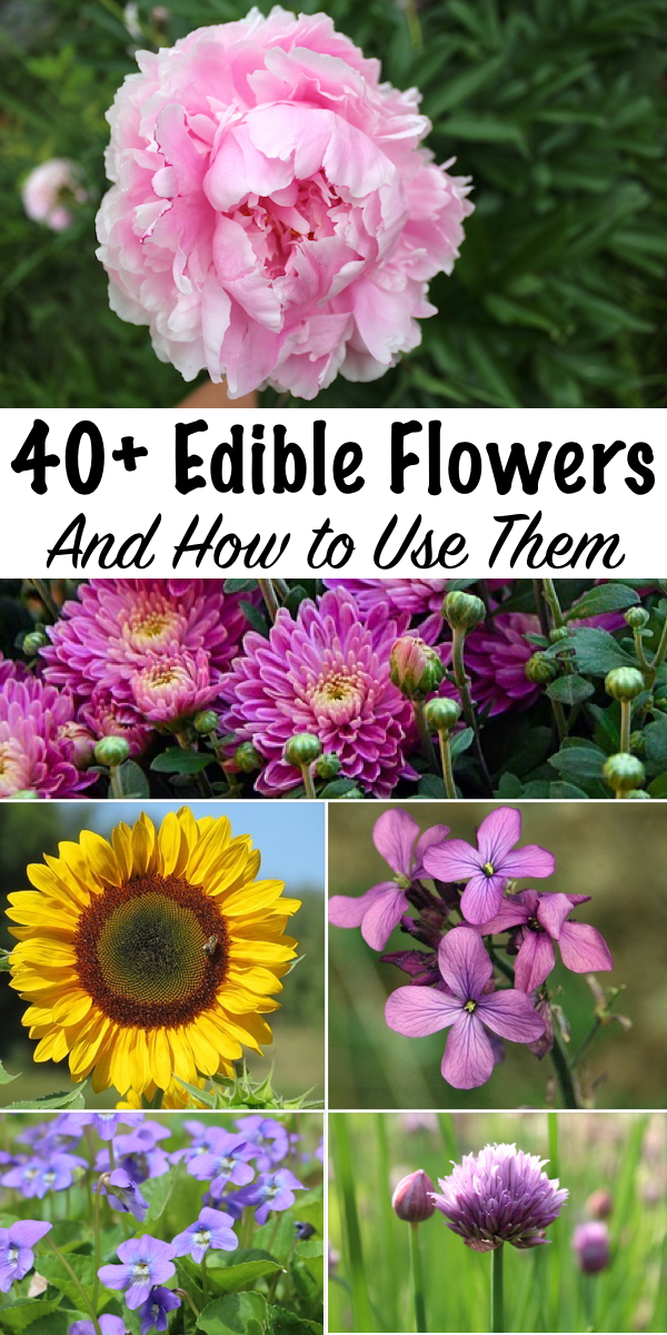 40+ Edible Flowers & How to Use Them ~ Edible Flower Recipes for some of the most common garden blossoms ~ There's more to eat in grandma's perennial garden than you realize... #edibleflowers #foraging #recipes #listof