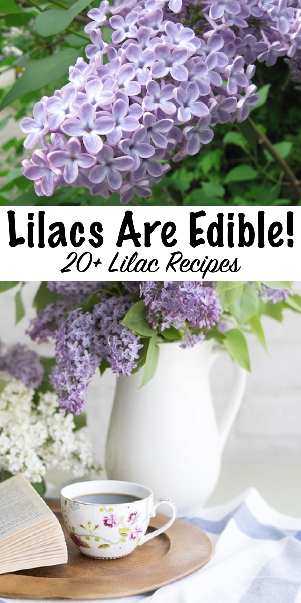 20+ Ways to use lilacs ~ Did you know lilacs are edible flowers? Here's 20+ recipes using lilacs for your spring kitchen. #lilacs #uses #recipes #edibleflowers #foraging
