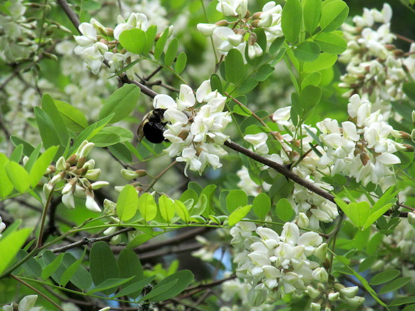 A bumble bee enjoying nectar from black locust flowers