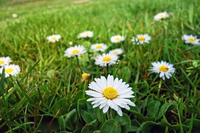 Edible flowers of common daisy