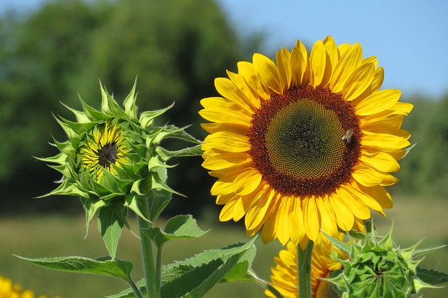 Edible sunflowers as buds and as fully opened flowers