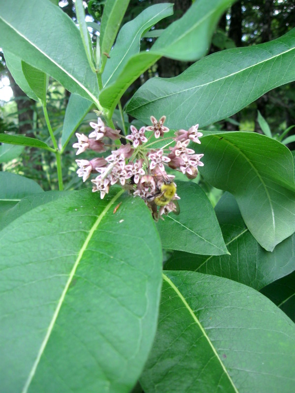 Bumblebee on Milkweed Flowers