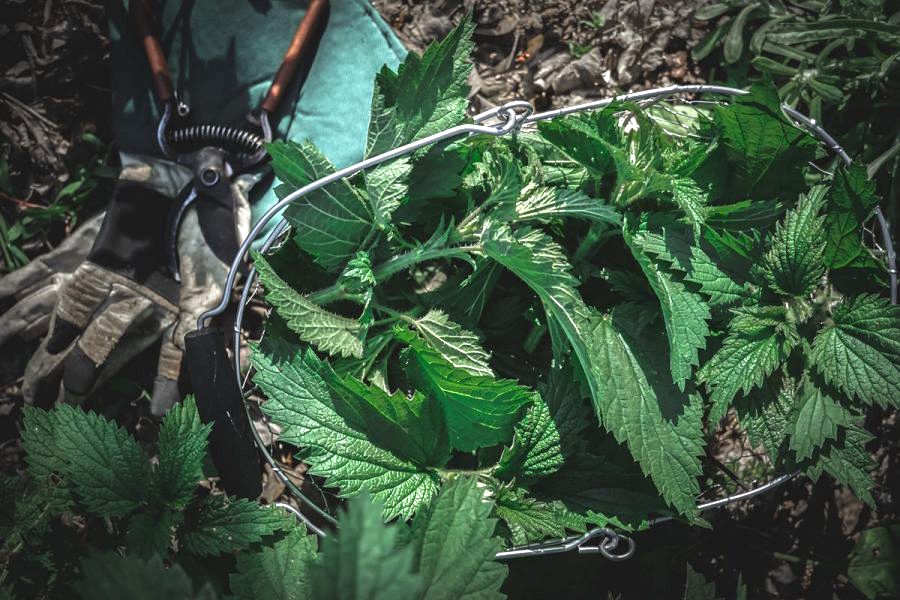 Basket of wild foraged stinging nettles with pruners on the ground