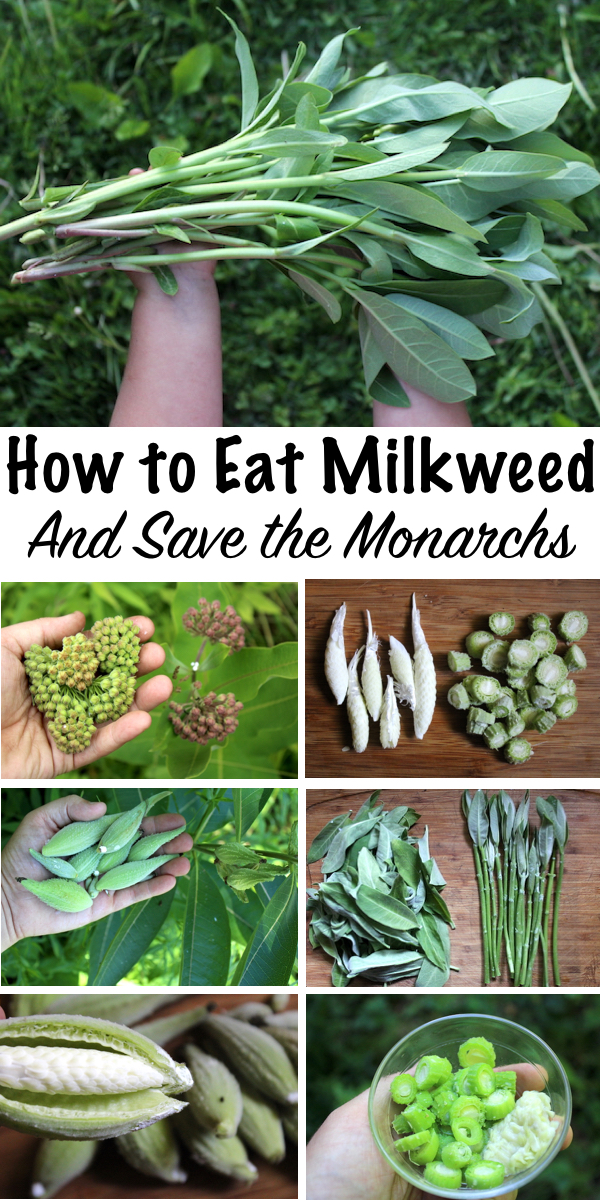 How to Eat Milkweed, and Save the Monarchs ~Common Milkweed is a Tasty Edible plant, and every part is delicious. The young shoots taste like asparagus, and the flower buds are a bit like broccoli. Later even the seed pods are edible. Beyond that, eating milkweed (and knowing it's edible) might actually help preserve monarch butterfly populations....here's how... #foraging #wildfood #forage #selfsufficiency #wildcrafting #wildedibles #milkweed #monarchs #monarchbutterfly #monarchbutterflies