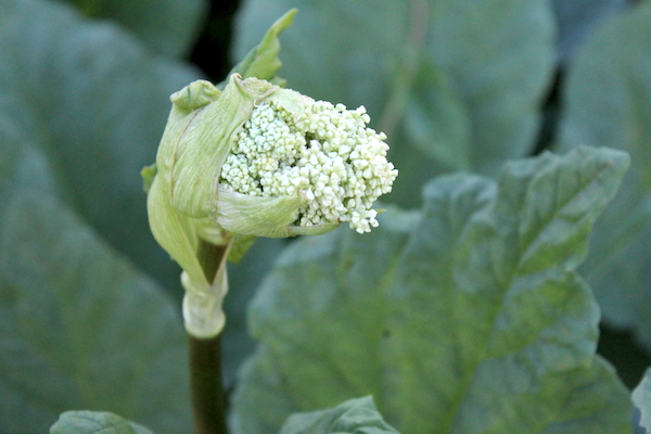 A young rhubarb flower stalk starting to grow from a dense rhubarb bed