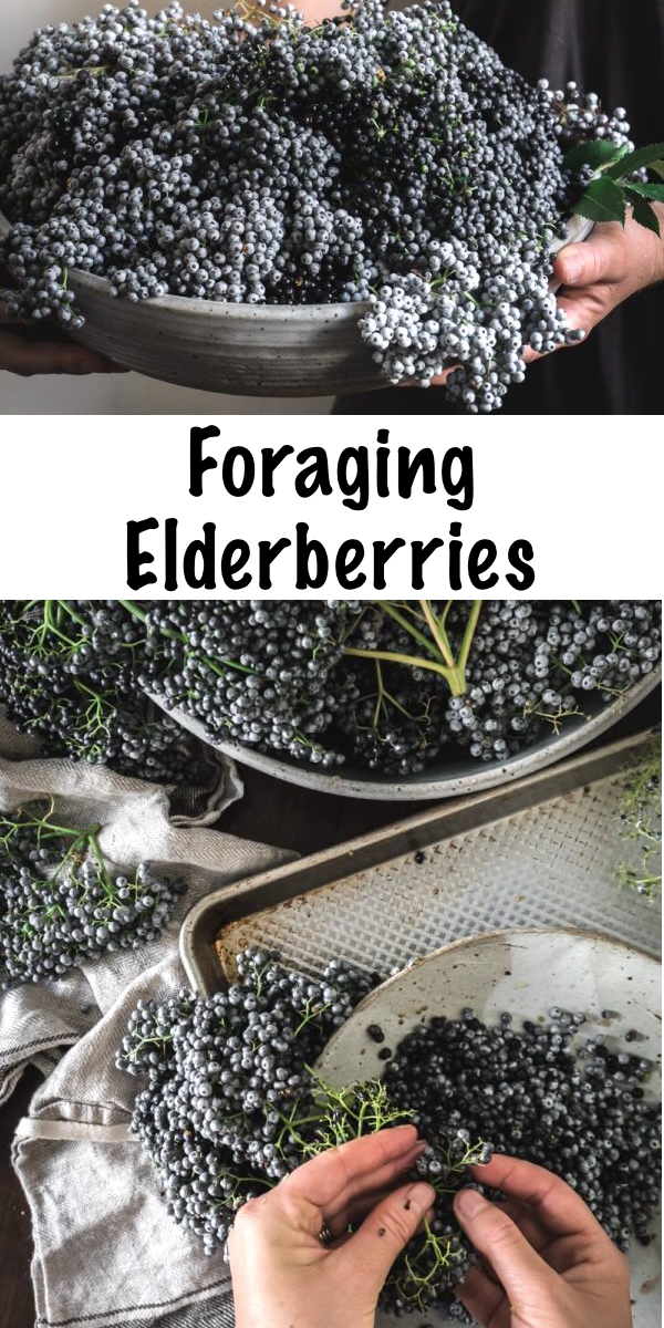Foraging Elderberries ~ Learn how to identify and forage for elderberry, plus ideas on how to work with and use this exceptional medicinal berry! #elderberry #forage #uses #medicine #benefits