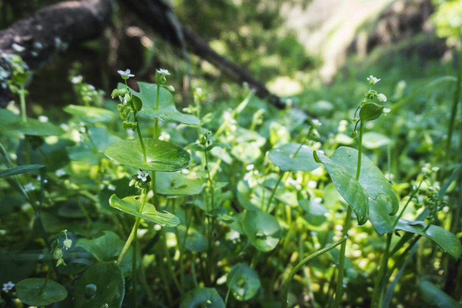 Patch of miner's lettuce