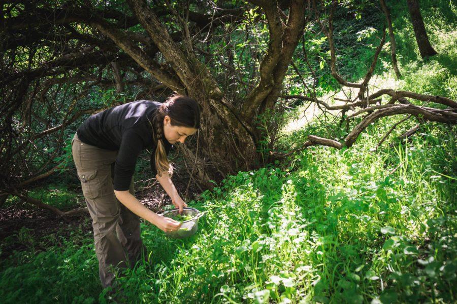 woman harvesting miner's lettuce