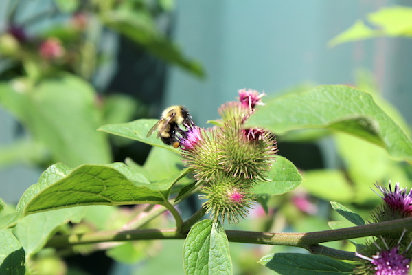 Wild native bee visiting burdock flowers (shortly before they become sticky burrs as seed pods)