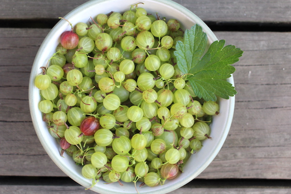 Bowl of homegrown gooseberries harvested to make gooseberry jam