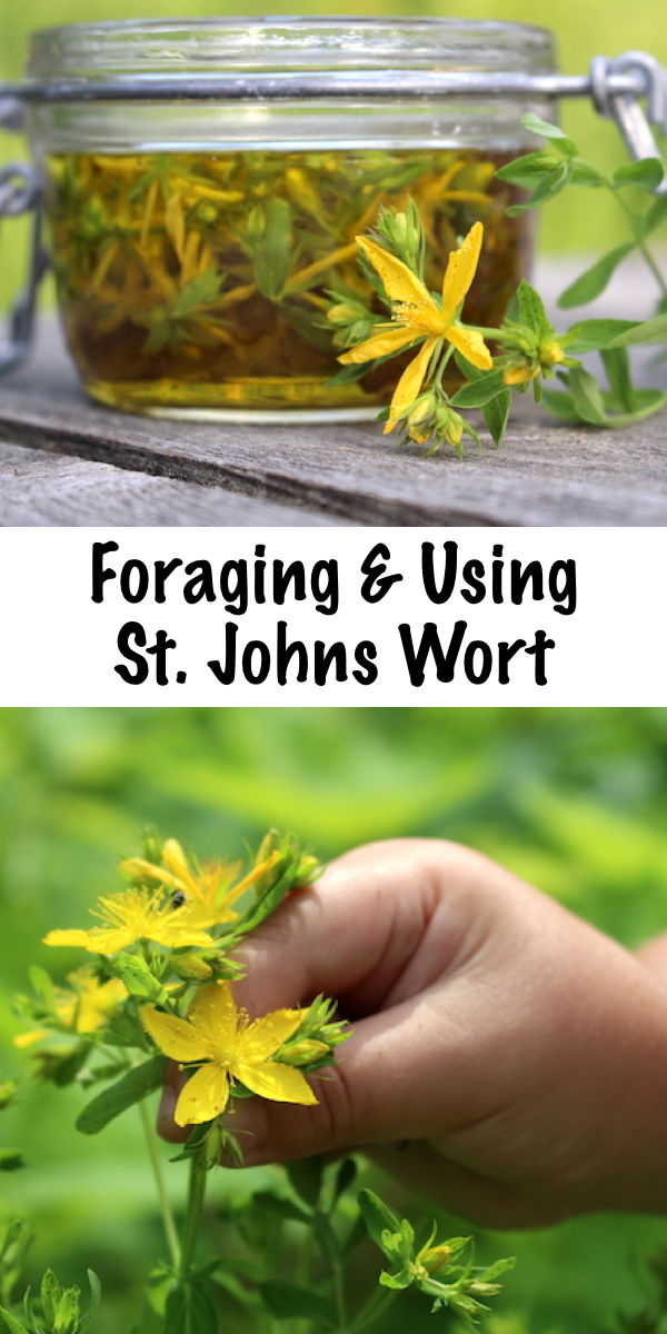 Foraging St. Johns Wort ~ The St. Johns Wort plant is a common roadside and pasture weed, and it's easy to forage this common herb for homemade herbal remedies. Identifying St. Johns Wort is relatively simple, and it can be made into both st. johns wort oil or extract with common every day kitchen ingredients. It's best known for it's use in treating depression, but historically it was used for wound healing and as a topical antibiotic. #stjohnswort #wildcrafting #herbs #foraging #herbalmedicine #wildfood #forage #selfsufficiency  #wildedibles