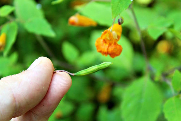 Harvesting Jewelweed seed pods for a tasty edible weed treat that tastes like walnuts