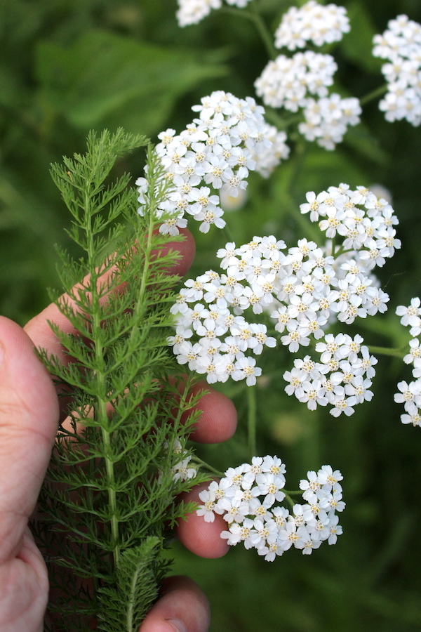 Identifying Yarrow by the feathery leaves and distinct white flower clusters