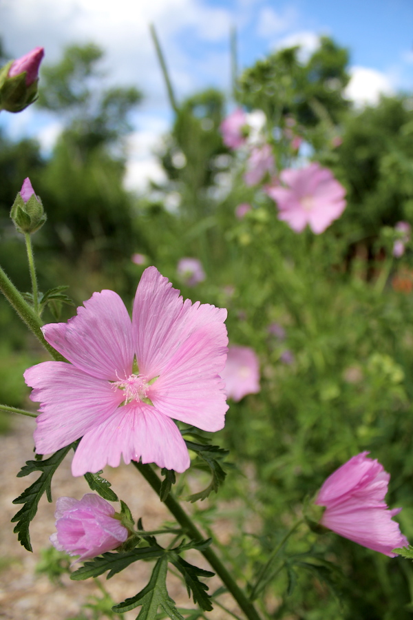Flowers on a wild mallow plant growing in my yard. They're not quite as elegant as the cultivated variety, but they're just as vigorous and care free.