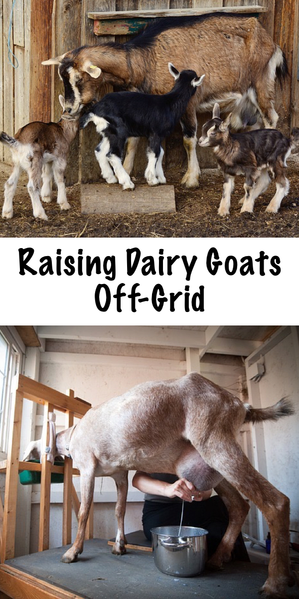 Raising Dairy Goats Off Grid ~ Raising dairy goats off the grid has its own unique challenges, but it's also incredibly rewarding.  Goats are one of the most resilient domestic animal breeds, and they're the perfect choice for rural and backwoods homesteads. #dairygoats #raisinggoats #offgrid #homestead #dairy #goats #homesteading #selfreliance