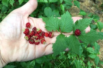 A handful of wild foraged red blackberries (Rubus pubescens)