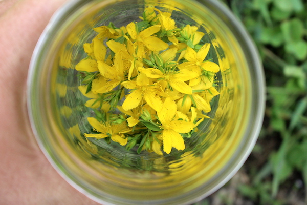 Harvesting St. Johns Wort flowers to use in homemade herbal remedies