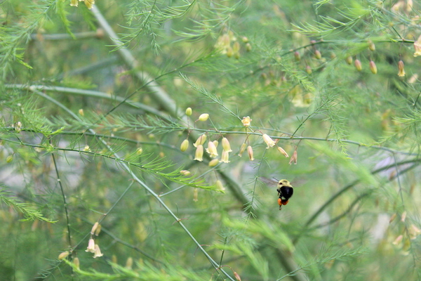 A bumblebee pollinating asparagus flowers on our Vermont homestead.