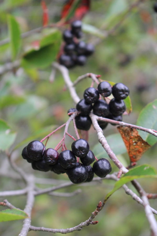 Wild edible berries of Black Chokeberry (aronia melanocarpa)