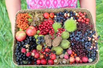 Basket full of wild edible berries, fruit and nuts all harvested within a few hours in autumn in Vermont.