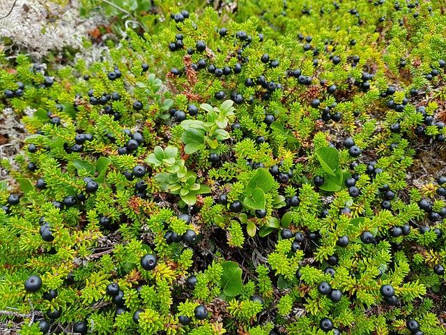 Crowberry (Empetrum nigrum)