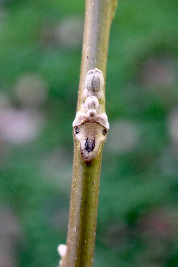 Butternut Leaf Scar