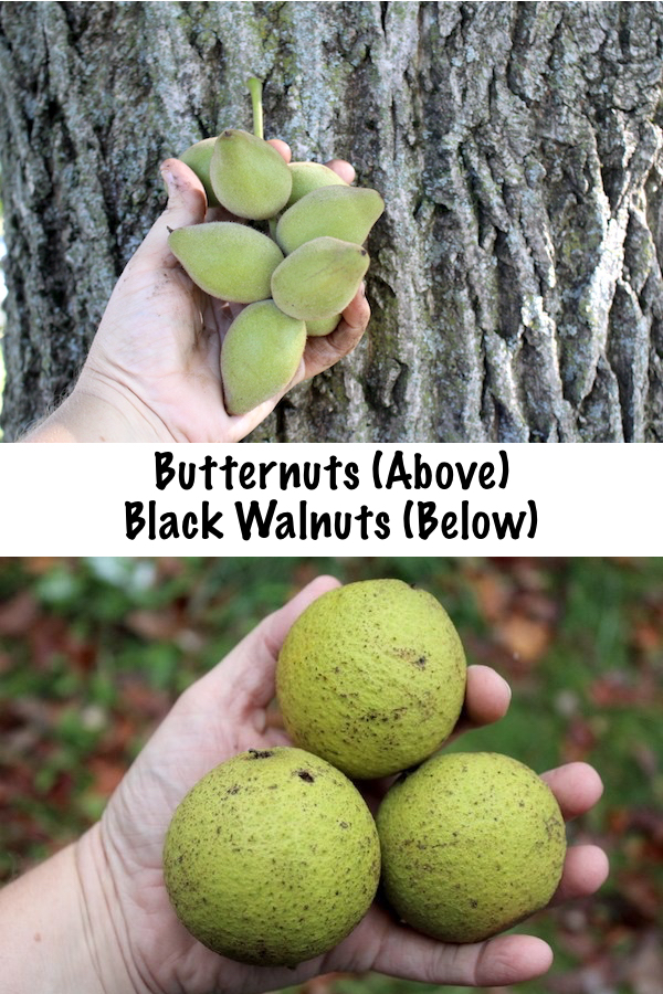 Butternuts Compared to Black Walnuts