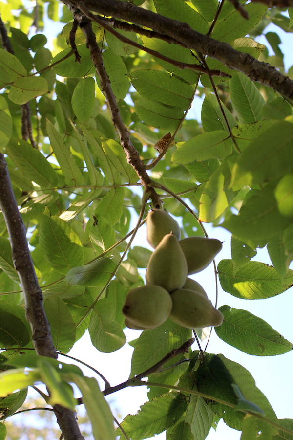 Cluster of butternuts on the tree