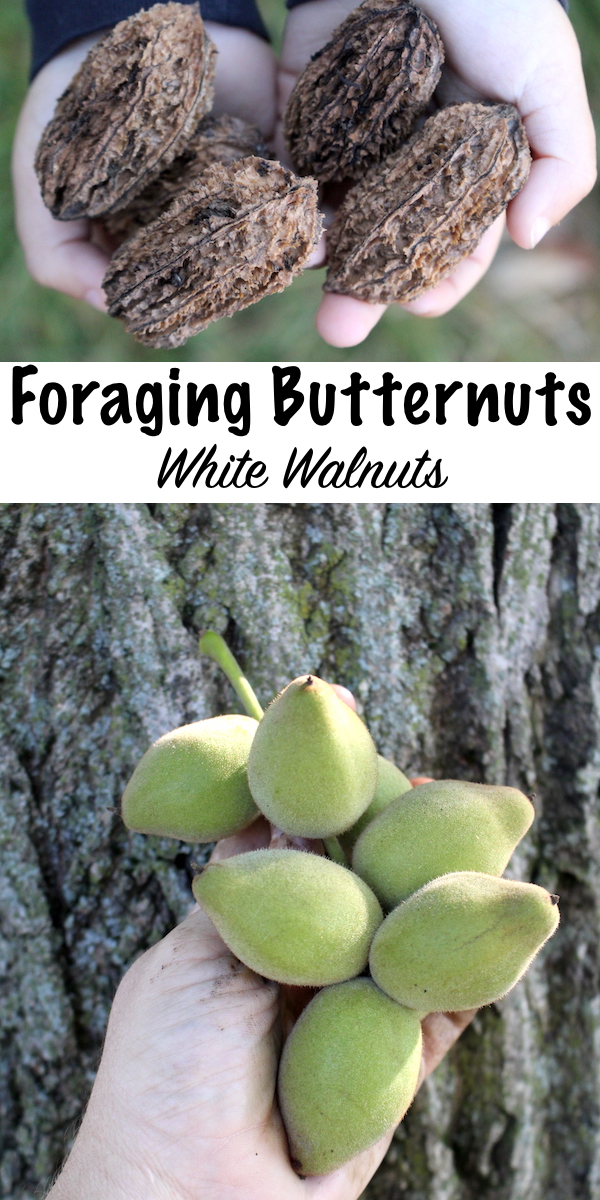 Foraging Butternuts (Juglans cinerea) ~ Also known as white walnuts, these edible wild nuts are sweet and mild. Unlike black walnuts that can be bitter, butternuts are a real treat. Learn how to identify butternut trees and process their delicious wild edible nuts. #foraging #wildfood #selfreliance