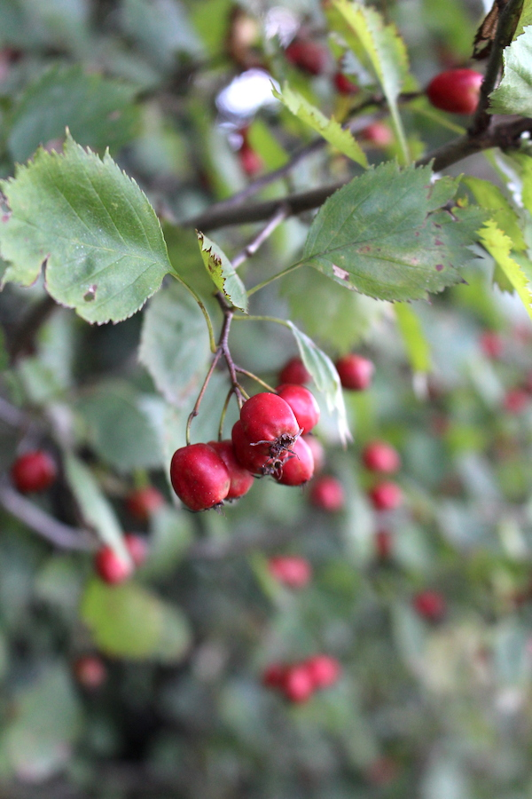 Wild Hawthorn Fruits