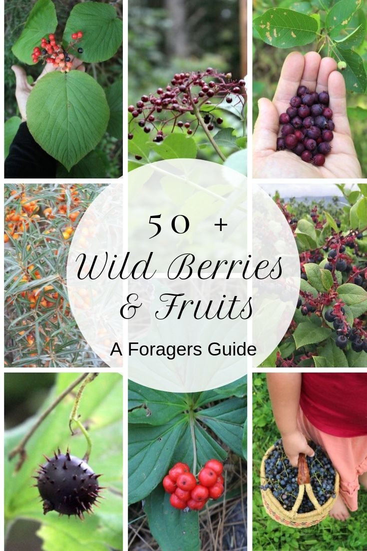 50+ Wild Edible Berries and Fruits ~ A Forager's Guide ~ There are literally thousands of edible wild plants, but wild fruits are some of the tastiest (and funnest) to find. Learn about new edible wild fruits with this foragers guide. #wildfood #wildcrafting #foraging #selfreliance