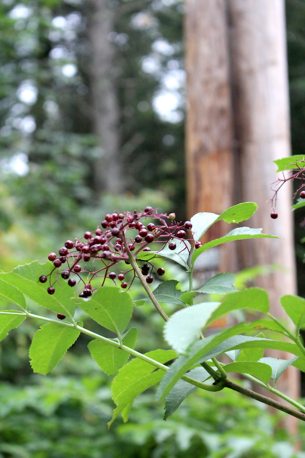 Wild Elderberries growing on a roadside in Vermont.