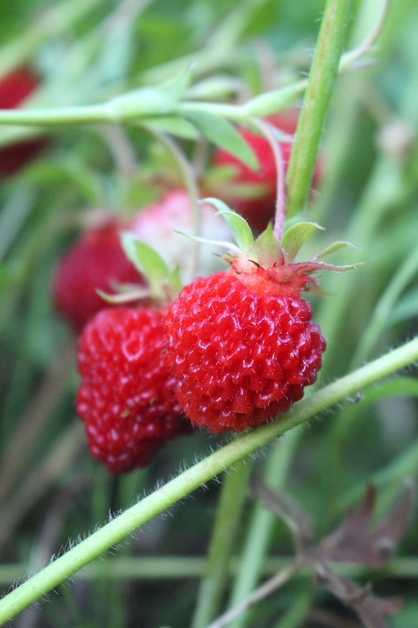 The bright red edible fruit of wild strawberries, still attached to the plant.