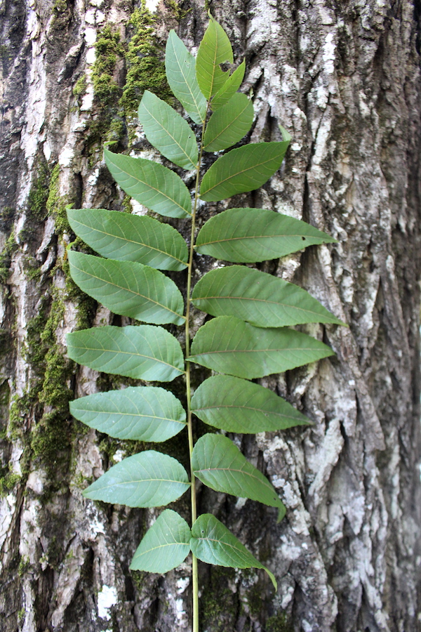 Butternut Tree Leaves