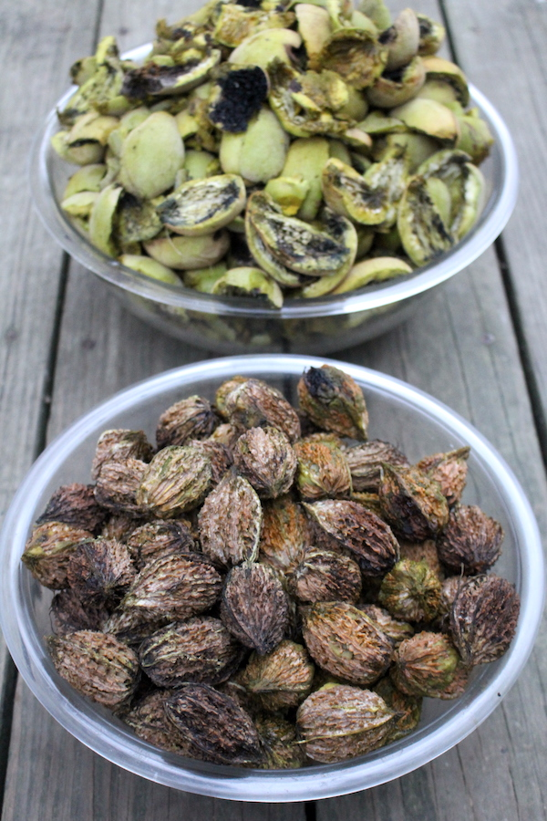 Butter nuts in brown shells (front) and their husks (back)