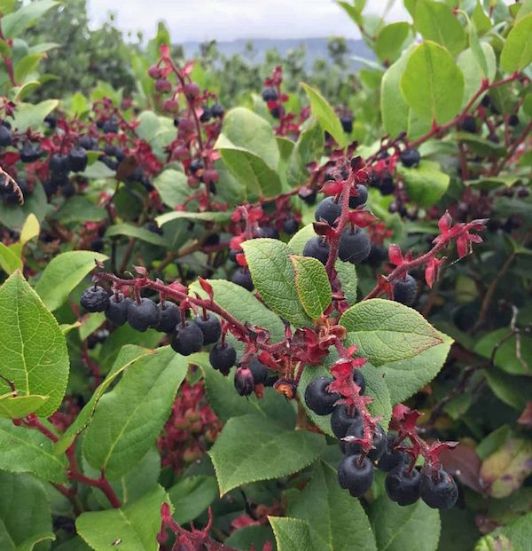 Salal berries (Image Courtesy of Colleen at Grow Forage Cook Ferment)