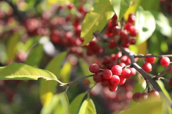 Autumn Olive Fruits