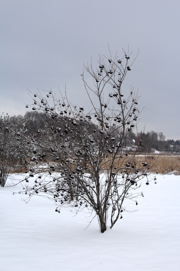 Nannyberry Bush in winter