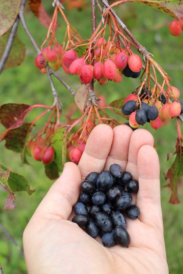 Nannyberry Fruits Ripening