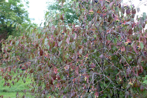 Nannyberry bush