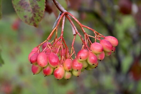 Unripe Nannyberry fruit cluster