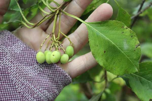 Unripe Cluster of Green Nannyberries