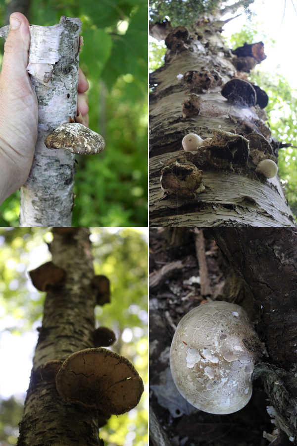 Old Birch Polypore Mushrooms