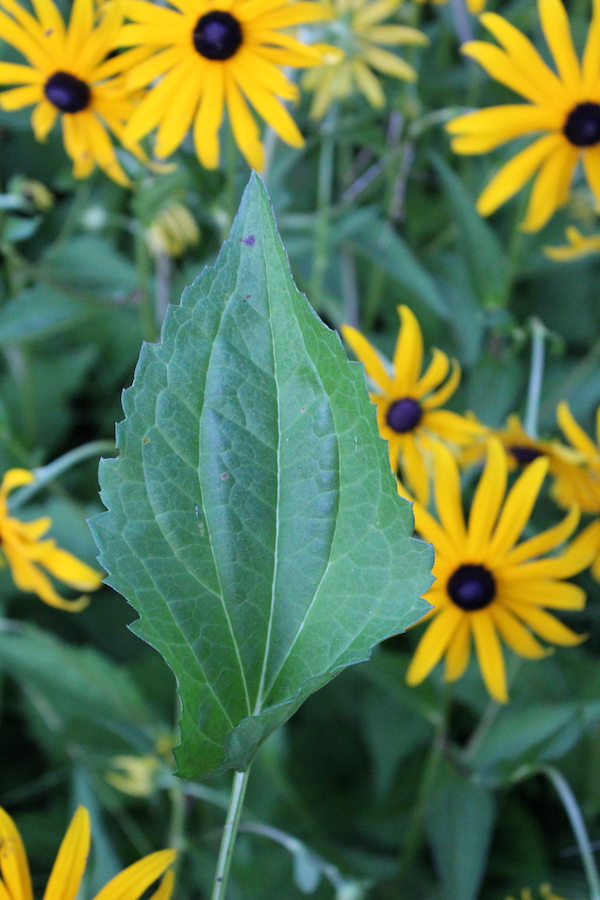 Black Eyed Susan Leaf