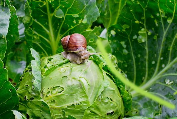 Garden Snail on Cabbage