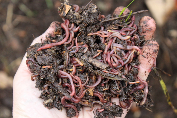 Used Coffee Grounds in Worm Compost