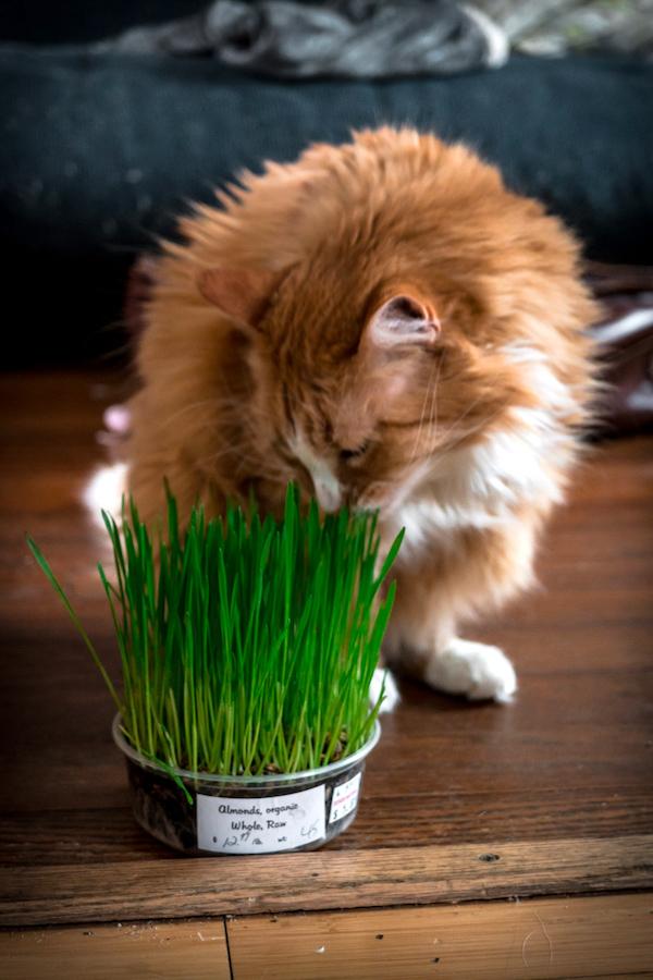 Wheatgrass Microgreens for Cats